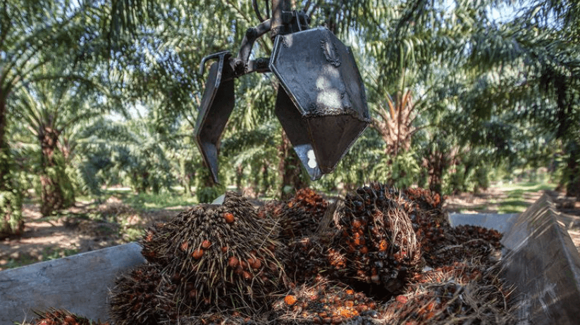 החרם האירופאי על שמן דקלים דווקא עלול לפגוע בסביבה - טבע - מדע פלוס
