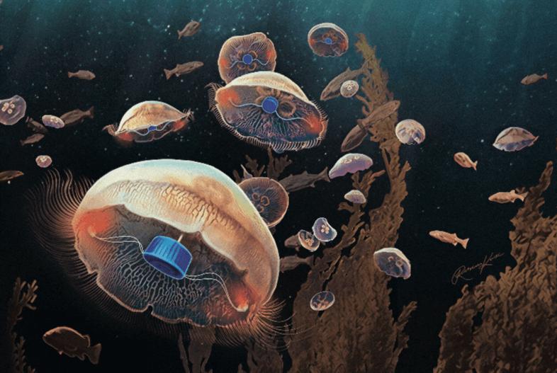 מדוזה חשמלית שוחה פי 3 מהר יותר - טבע - מדע פלוס
