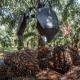 החרם האירופאי על שמן דקלים עלול דווקא לפגוע בסביבה