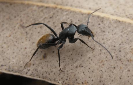 חיבור קביים לנמלים כדי למדוד את צעדיהן