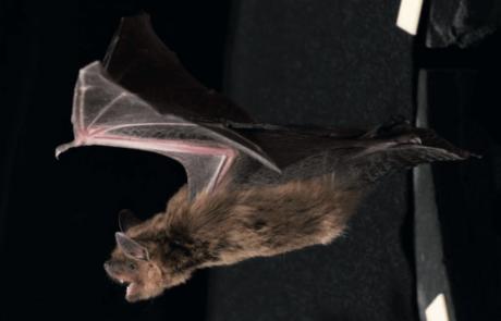 """ה""""רדאר"""" של העטלף יסייע בהבנת הפרעת קשב וריכוז"""